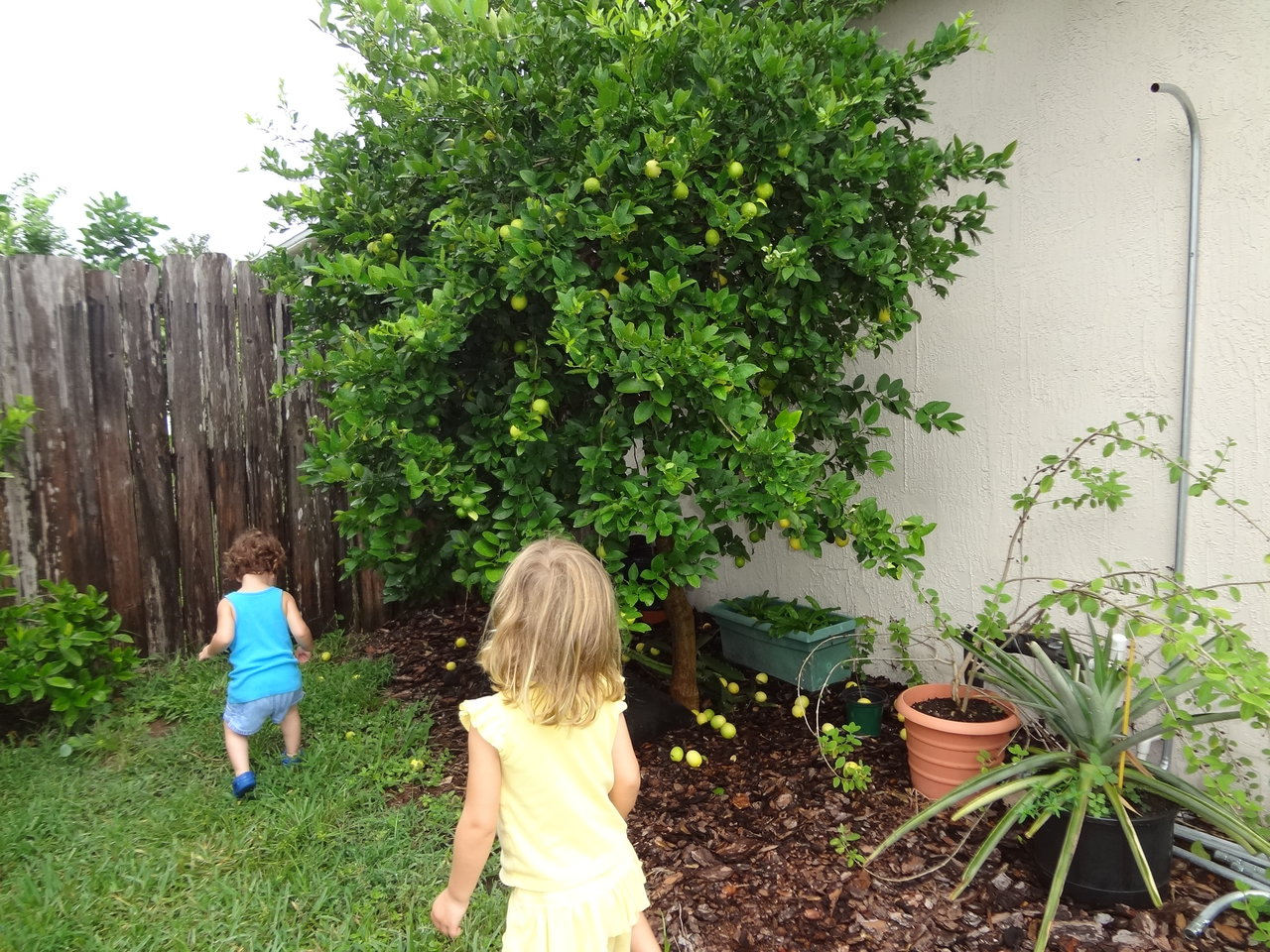 Four year old true Key Lime tree